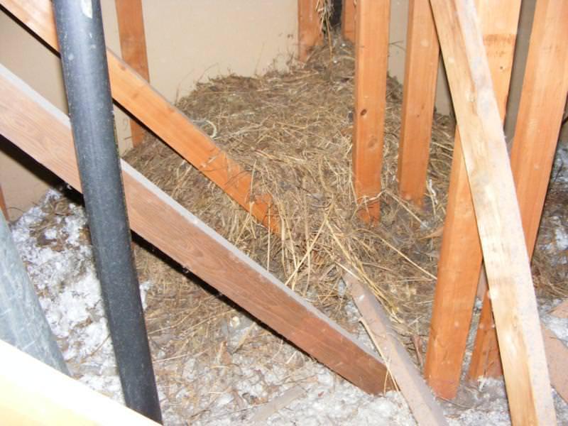 Bird nesting materials in attic