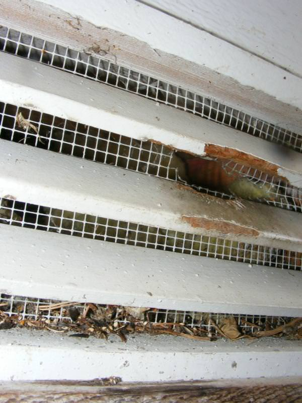 Rodent damaged vent screen