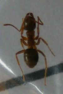 Moisture Ant
