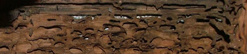 Moisture Ant damaged sheathing