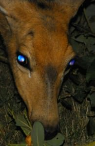 A deer in the headlights