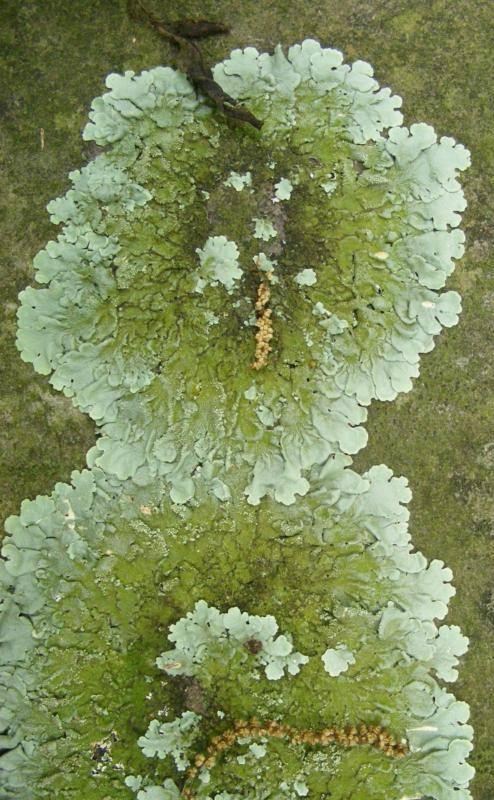 Monster fungus