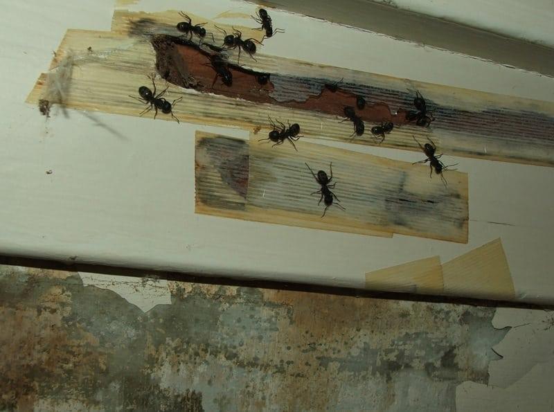 Carpenter Ants, Camponotus Modoc
